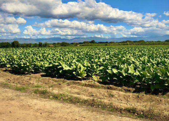 Tabakfeld in der Dominikanischen Republik